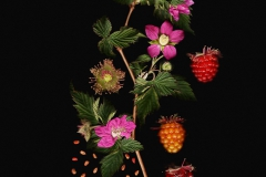 Laara Cerman, Salmonberry, 2016, Chromogenic Print,12x9in  Value: $450