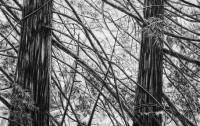 Trees Nerissa Ng